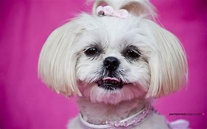 Tzu Shih Grooming Wallpapers Dog Desktop Dogs
