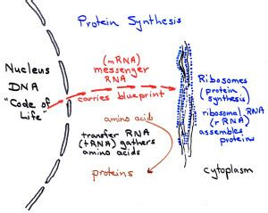 protein synthesis basics culturing science biology