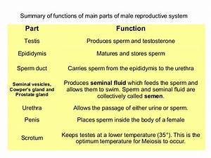 Cat Reproductive System Parts And Functions