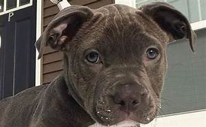 14, Terribly, Interesting, Facts, About, The, Pit, Bull
