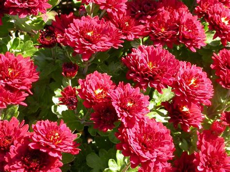 to fall blooming perennials top 3 fall blooming perennials for the midwest
