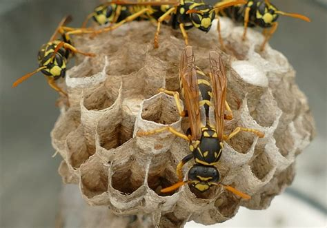 How and why wasp nests are constructed - Sydney's Best Pest Control