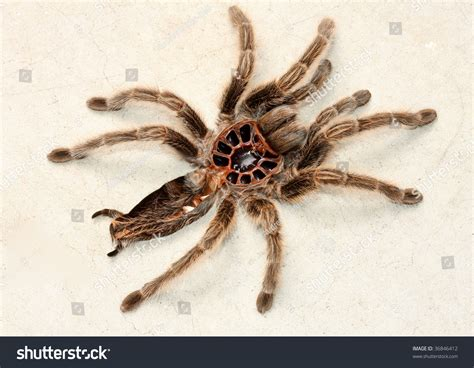 tarantula remains after shedding molting exoskeleton