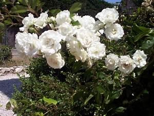 Rosier Grimpant Blanc : rosier blanc grimpant petites fleurs photo de fleurs ~ Premium-room.com Idées de Décoration