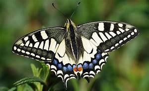 Schmetterlinge überwintern Helfen : schwalbenschwanz bund naturschutz in bayern e v ~ Yasmunasinghe.com Haus und Dekorationen