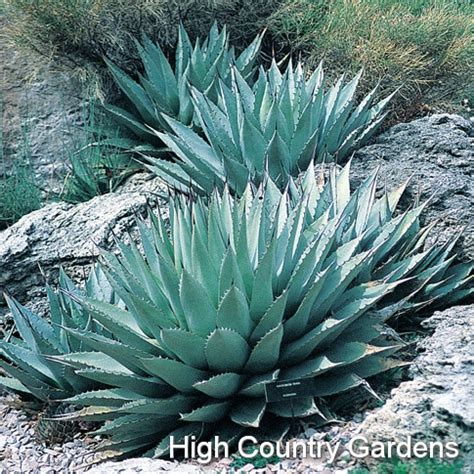 agave hardiness 1000 images about agave on pinterest agaves spikes and yellow stripes