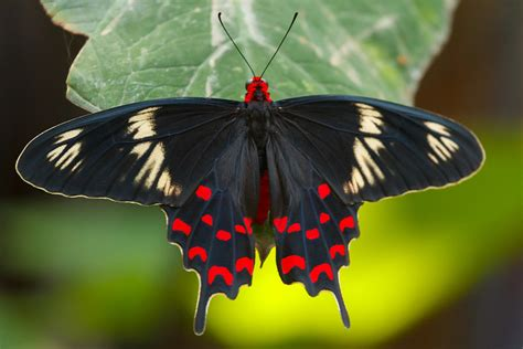 crimson rose butterfly photograph  abhijeet sawant