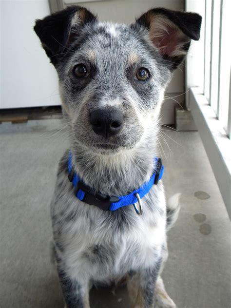 Do Blue Heeler Border Collies Shed by Blue Heeler Border Collie Mix Puppy I Want It