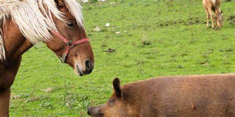 horses horse pig afraid species credit