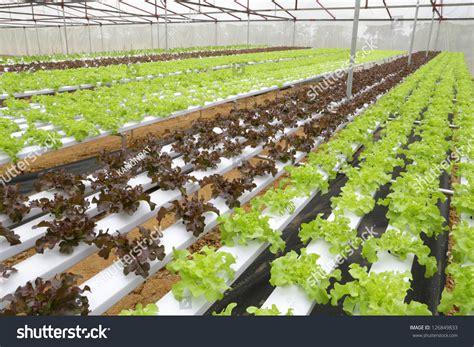 organic hydroponic vegetable garden stock photo 126849833