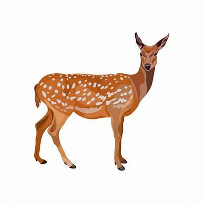 Deer Axis Clip Vector Female Illustrations Fallow