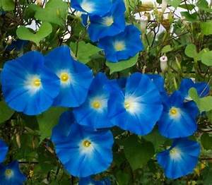 Blue Morning Glory - Flowers Photo (30352544) - Fanpop