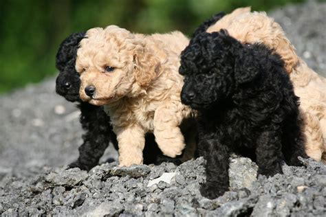 Hunde Welpen Pudel
