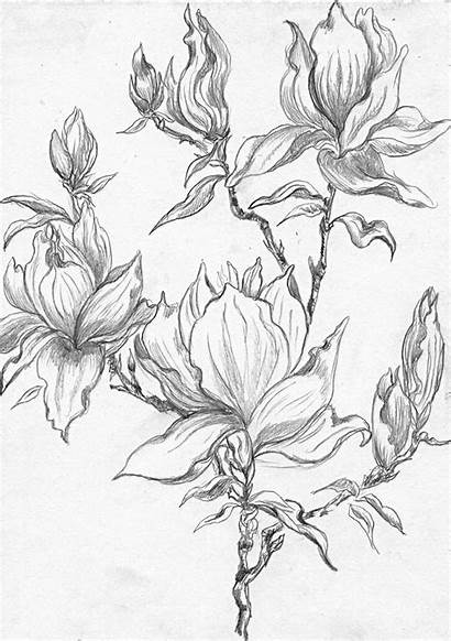 Magnolia Flower Tree Stencil Sketches Drawing Coloring
