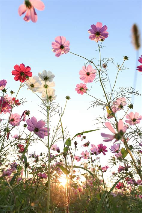 Cosmos Flower With Blue Sky By Yen Hung Lin Flowers