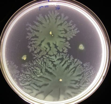 pseudomonas aeruginosa swarm motility college  engineering