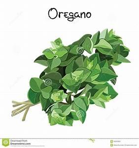 Oregano Sprigs Stock Vector - Image: 50234922