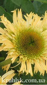 Echinacea Secret joy — Плідник Круглик