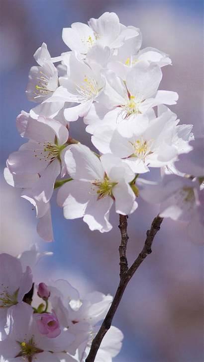 Cherry Blossom Iphone Wallpapers Blossoms Flowers Sakura