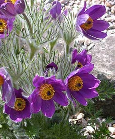 anémone pulsatilla anemone pulsatilla goode greenhouses
