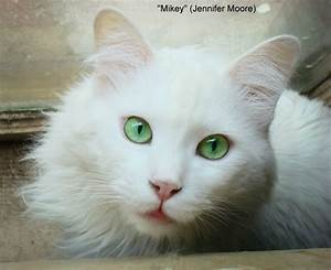 Long Haired White Cat With Green Eyes | 2015 Best Auto Reviews