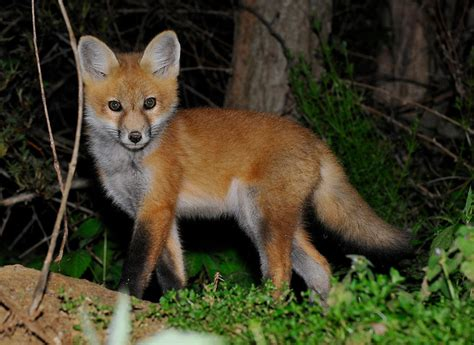 is it to own a fox in ohio red fox state land mammal 2 state symbols usa