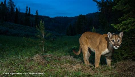 Panthera Launches The Cougar Channel The Tiniest Tiger