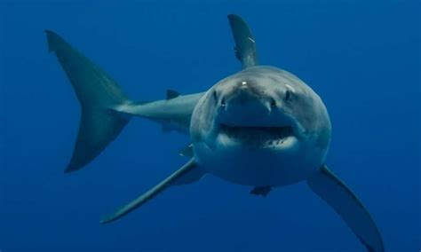 What Do Great White Shark Babies Look Like