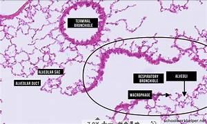 bronchiole-slide-labelled-histology - SchoolWorkHelper