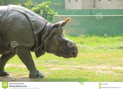 indian rino stock images image