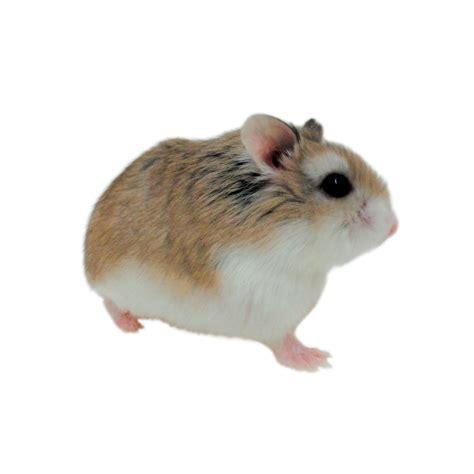 Roborovski Hamsters For Sale
