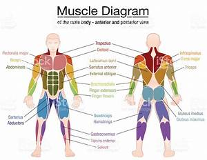 Muscle Diagram Most Important Muscles Of An Athletic Male ...