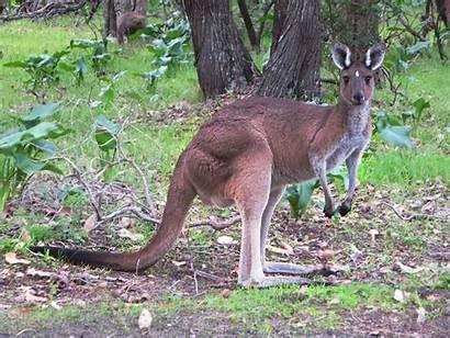 Kangaroo Punches Dog Face Flickr Kangaroos Punch