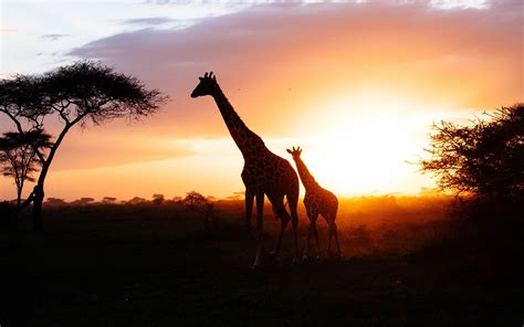 african savanna giraffe sunset silhouette preview wallpapercom