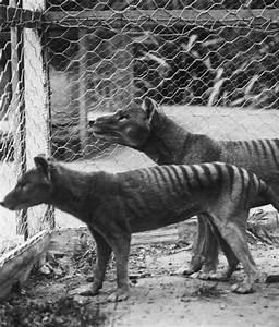 TASMANIAN TIGER Cryptid Name: Tiger Cat Location ...