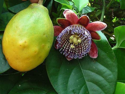 plantas de maracuya passiflora quadrangularis  en mercado libre