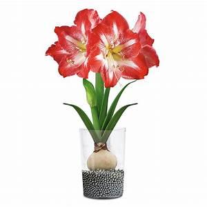 Tulpen Im Glas Ohne Erde : amaryllis minerva in acrylglasvase mit deko perls online kaufen bei g rtner p tschke ~ Frokenaadalensverden.com Haus und Dekorationen