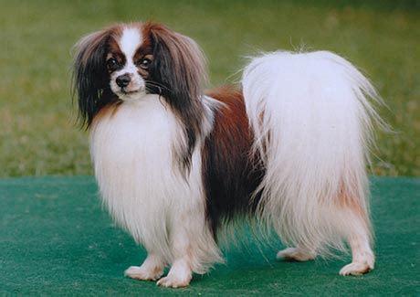 phalene  nachtvlinderhondje hond te koophond te koop