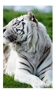 Tiger Albino 2, HD Animals, 4k Wallpapers, Images ...