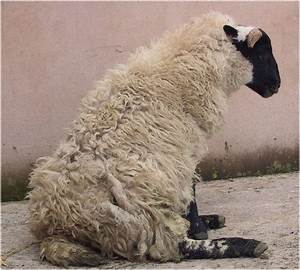 Diagnosing Limb Paresis And Paralysis In Sheep