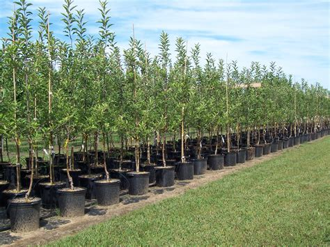 tree nurseries nursery production systems and street tree survival alliance for community trees news