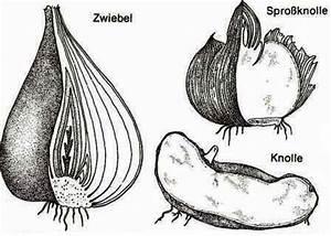 Aufbau Der Zwiebel : zwiebel und knollengew chse acht gro e pflanzengruppen ~ Lizthompson.info Haus und Dekorationen