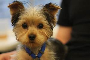 making yorkie hair cuts a simple diy method