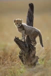 Cheetah Cub Masai Mara National Reserve