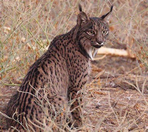 lynx iberian endangered spain conservation expeditions apex wildlife harrison
