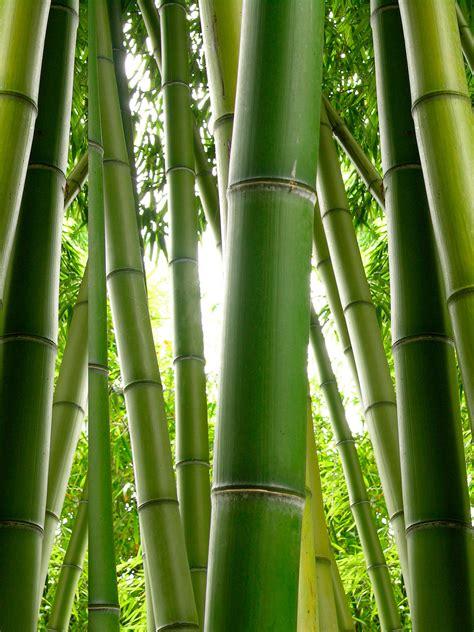 Der Bambus Elegantes Ziergras Für Eine Stilvolle
