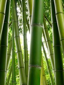 Bambus Pflege In Der Vase : der bambus elegantes ziergras f r eine stilvolle ~ Lizthompson.info Haus und Dekorationen