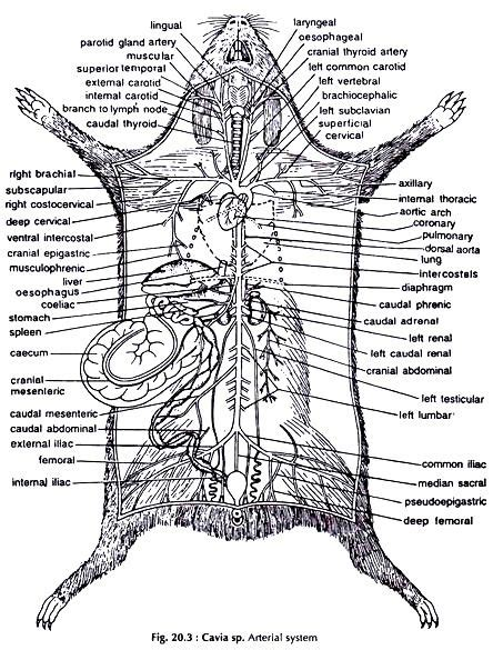 Guinea Pig Diagram Label by In This Article We Will Discuss About The Dissection Of