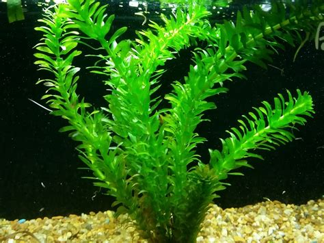 anacharis egeria densa caresheet aquatic mag
