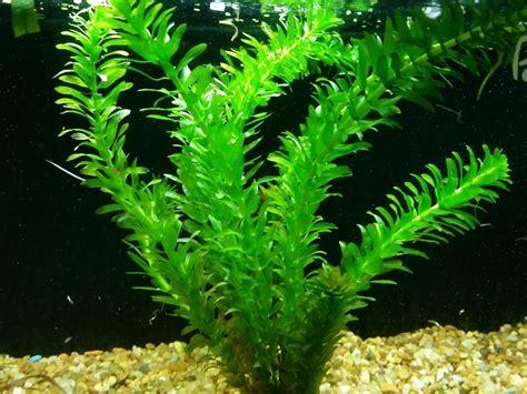 large water tank anacharis egeria densa caresheet aquatic mag